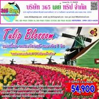 เบลเยี่ยม เนเธอร์แลนด์ เยอรมัน Tulip Blossom